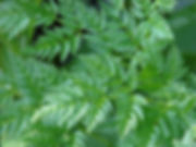 conium_maculatum_leaf_300.jpg
