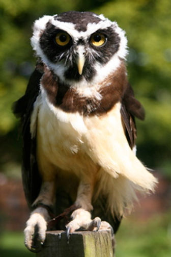 Moccadoo - Spectacled Owl