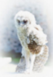 TAWNY OWL stretch.jpg