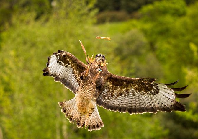 Buzzard aerial
