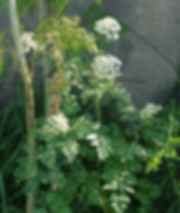 800px-Oenanthe_April_2011-1.jpg