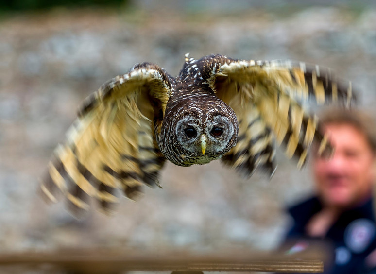 Chack, our little Chaco Owl