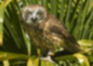 Indi,-boobooks-owl.jpg