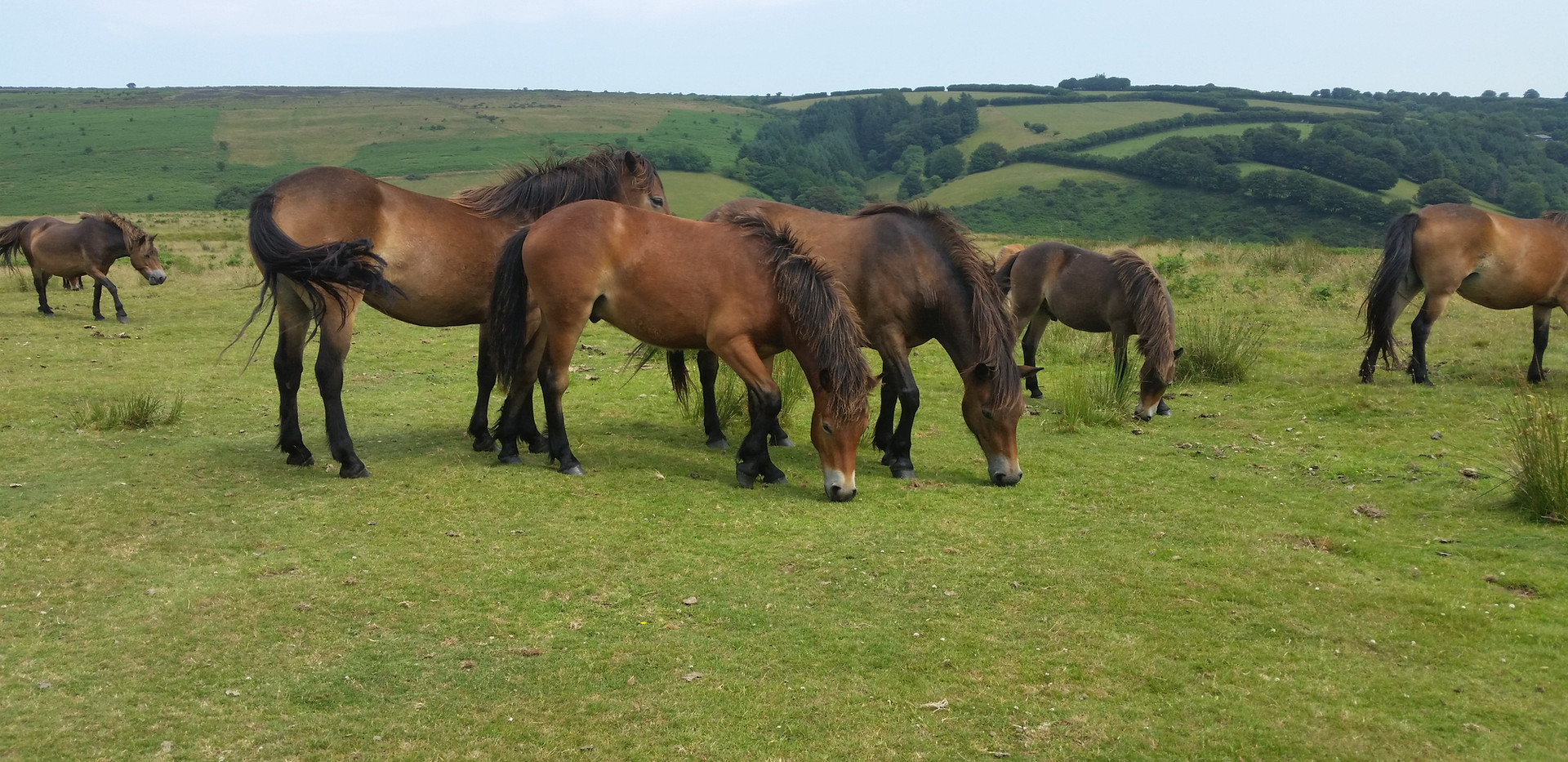Exmoor Pony herds on all our rides