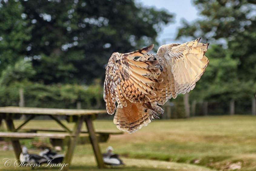 Nadi - Bengal Eagle Owl - Buteo Bengalensis