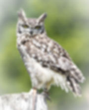 African%2520Spotted%2520Eagle%2520Owl_ed