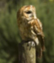 Pip,-tawny-owl.jpg