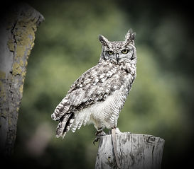 African Spotted Eagle Owl_edited_edited_