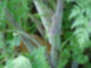 conium_maculatum_tweed_stem_300.jpg