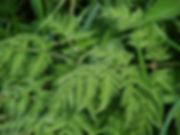 anthriscus_sylvestris_leaf_300.jpg