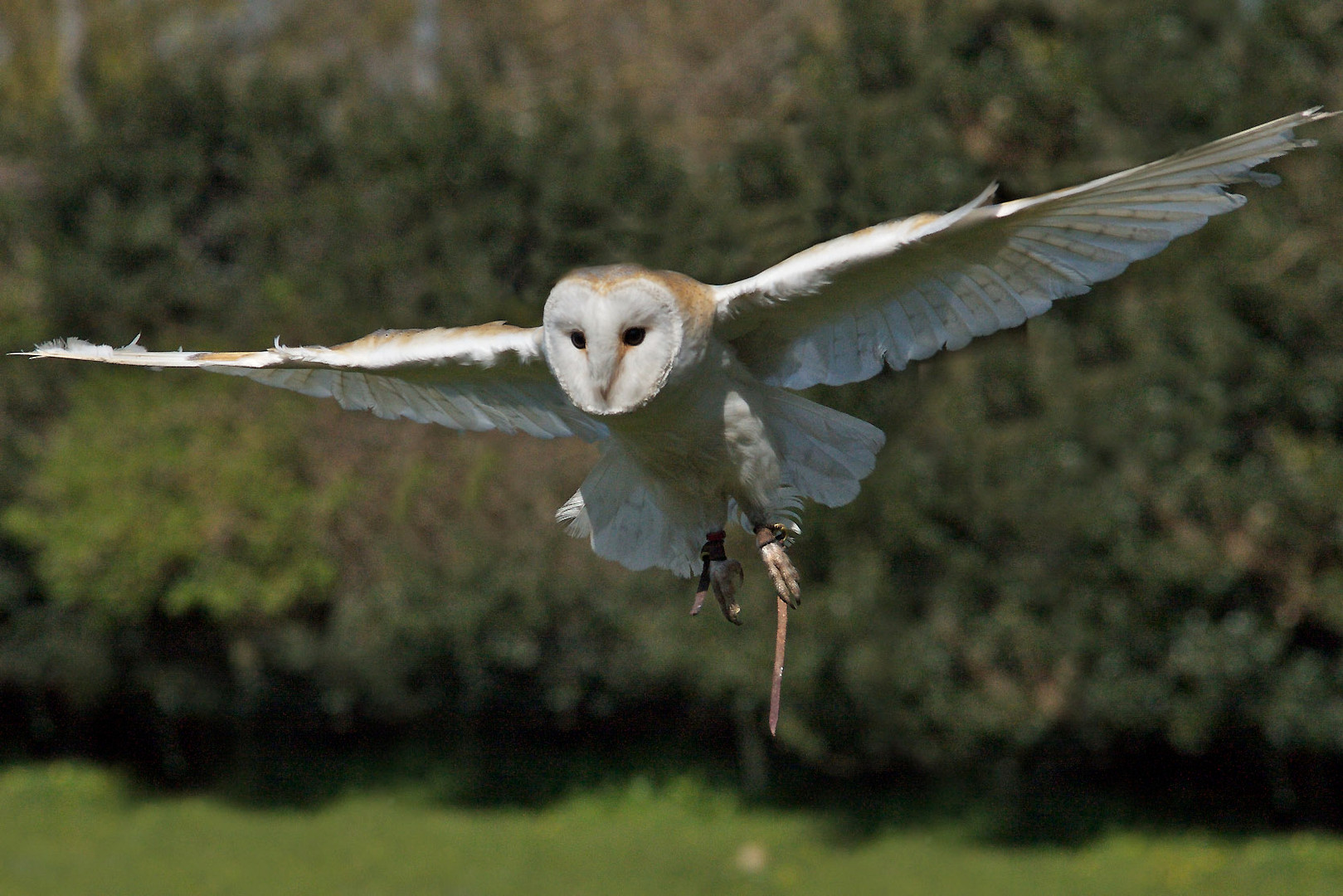 Thistle, small, beautiful and flighty Barn Owl - Tyto Alba