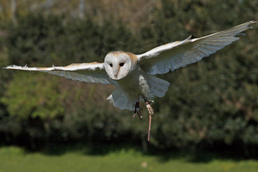 Thistle, small, beautiful and flighty Barn Owl - Tyto Alba