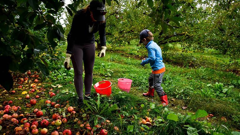 All Parish Apple Gleaning