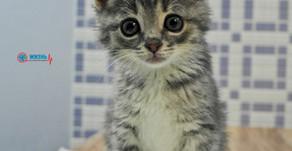 Спонтанные переломы при гиперпаратиреозе котят