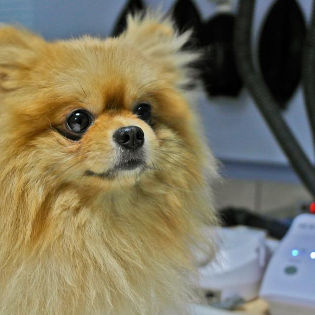Персик, ультразвуковая чистка зубов собаке в Калуге.