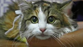 Пиометра у кошки