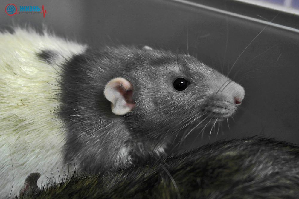 Крыса. Лечение грызунов в Калуге