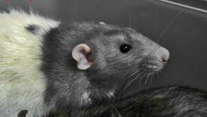 Гигиена хвоста крыс