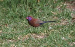 Cordon_Bleu_Grenadin_à_Oreillons_violets