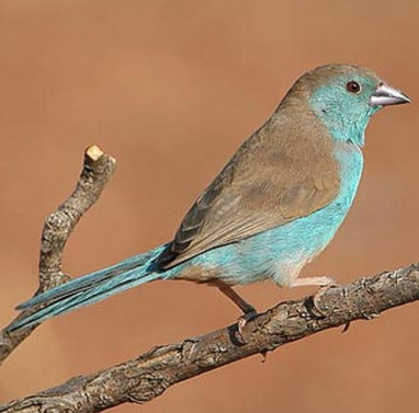 Cordon bleu D'Angola (5) (2).jpg