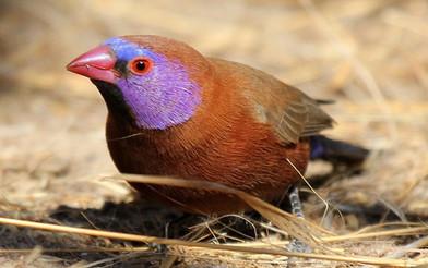 Cordon_Grenadin_bleu_à_Oreillons_violets