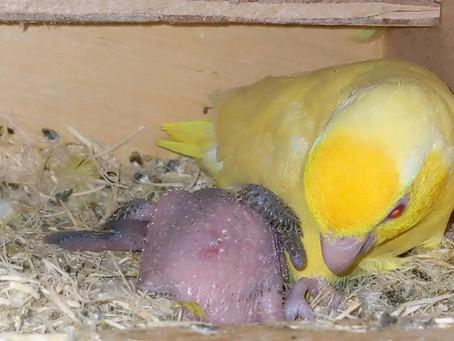 巣上げと孵化予定🐣