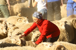 Gather the sheep