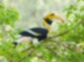 GreatHornbill1.jpg