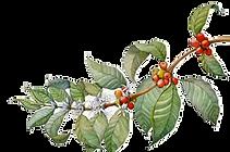 Coffee bean tree