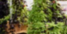 Calibrachoa Chameleon Blueberry Scone