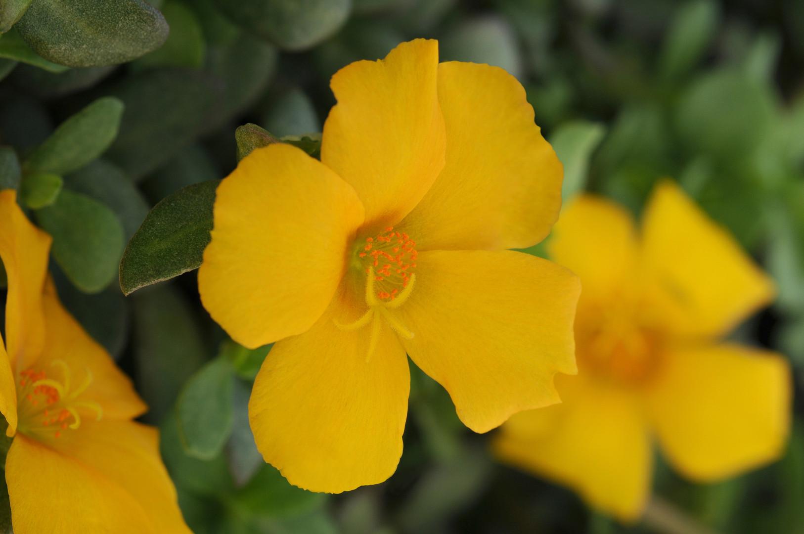 Purslane_PortoGrande_Yellow_Bloom_7974.j