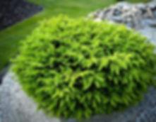 birds-nest-spruce-1.jpg