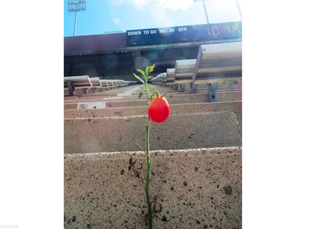 Tomato Plant Miraculously Grows in the Stands at Texas A&M's Kyle Field After Months of Being Empty