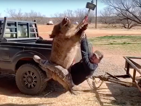 Texas Man Swings From Hog in Viral Video