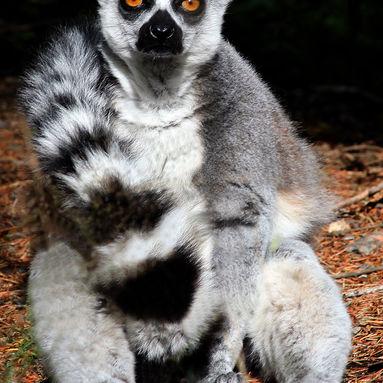 suny lemur.jpg