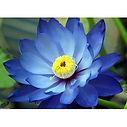 blue lotus.jpg