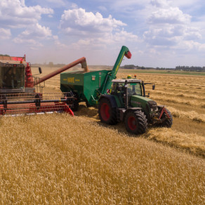 ARE PULSES BEING REPLACED BY WHEAT IN MONTANA?