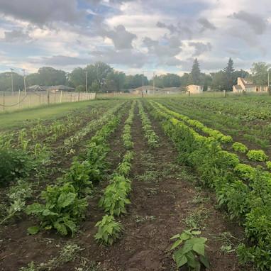 Midwest Food Resources (SK) garden, a MAZON garden grant recipient.