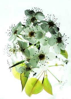 bradford_blossoms_ii_by_blackmagdalena-d4sf9qz
