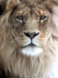 lion_edited.jpg