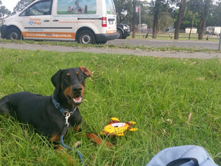 Having fun with interactive games a dog enjoys is one way to help desensitise a dog to their environment of background noises and visually seeing traffic, people passing by, children playing in a field near by etc