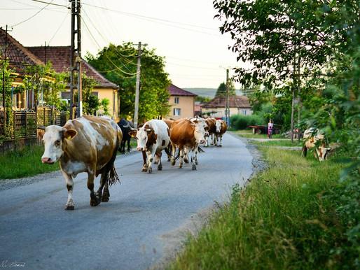 """""""Nu mai suntem în putere să ținem vaci"""""""