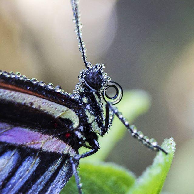 #butterflyworld #beautifulbutterfly #butterflydewdrops #mistedbutterfly #wetbutterfly #macrophotogra