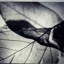 Xray leaves for special effects class _) #sfxclass  #sfxphotography #fauxxrayography #blackandwhite