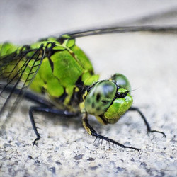 #macrophotography #macro #insects #bugphotography #dragonfly #dragonflyupclose #dragonfliesingainesv