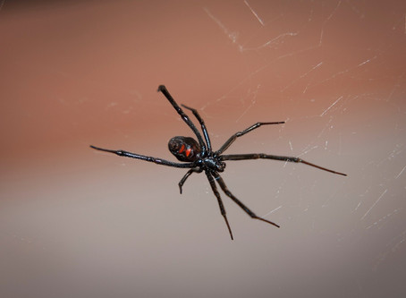 The northern black widow spider is now established in Québec