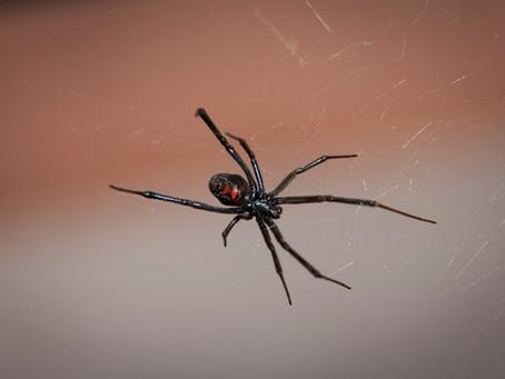 The northern black widow spider is now established in Québec