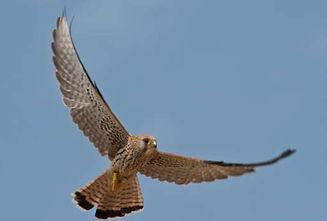 éoliennes danger pour oiseaux protégés