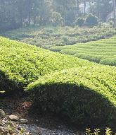20070729茶畑.jpg