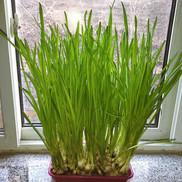 Asphaltenes as Planting Soil